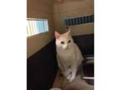 Adopt Kate Spade a White Domestic Mediumhair / Domestic Shorthair / Mixed cat in