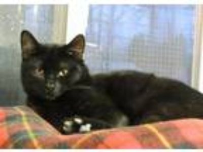 Adopt Ollie a All Black Domestic Shorthair / Domestic Shorthair / Mixed cat in