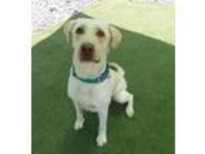 Adopt Buddy #3 a Yellow Labrador Retriever