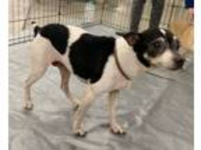 Adopt Tina Turner a Rat Terrier