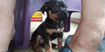 Cheagle puppies for sale