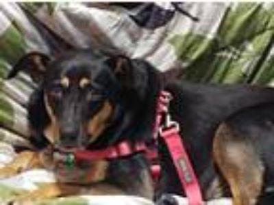 Adopt Heidi in TN a Black - with Tan, Yellow or Fawn Shepherd (Unknown Type) /