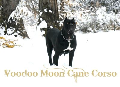 Champion Sired Cane Corso IMPORT Puppies
