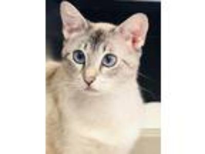 Adopt India a Cream or Ivory (Mostly) Domestic Shorthair / Mixed (short coat)