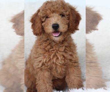 Goldendoodle-Poodle (Miniature) Mix PUPPY FOR SALE ADN-129786 - Mini Goldendoodle