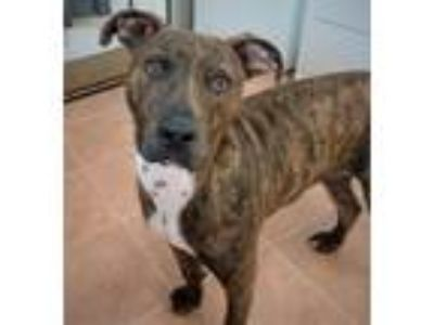 Adopt STERLING a Brindle - with White Mountain Cur / Mixed dog in Malvern