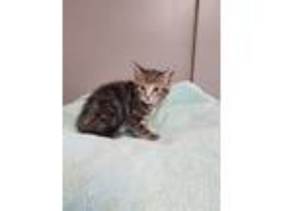Adopt Alannah a Domestic Short Hair