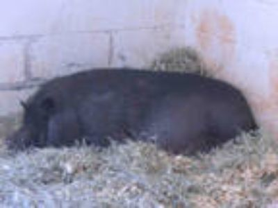 Adopt a Pig (Potbellied) / Mixed farm-type animal in Oklahoma City