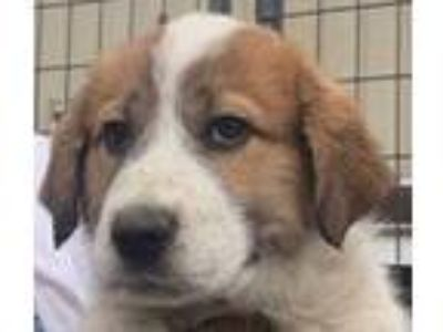 Adopt Kimmie a Great Pyrenees