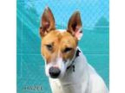 Adopt Hazelnut a Cattle Dog, Bull Terrier