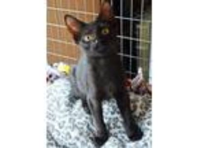 Adopt Tish - kitten 1 a All Black Domestic Shorthair / Domestic Shorthair /