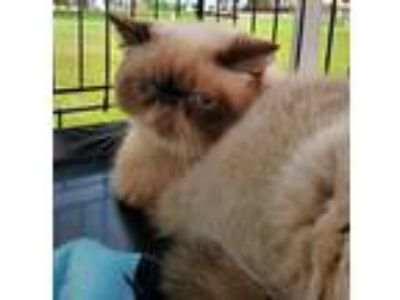 Adopt CHARLOTTE a Exotic Shorthair