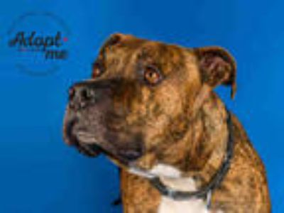 Adopt AXE a Brindle - with White American Pit Bull Terrier / Mixed dog in