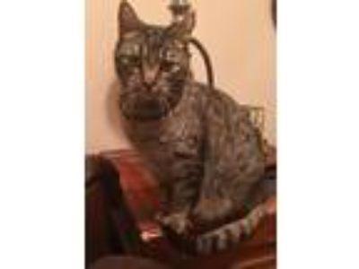 Adopt Korra a Brown Tabby Domestic Mediumhair cat in Austin, TX (25054839)