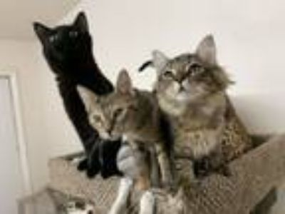 Adopt Kittens Galore a Domestic Short Hair