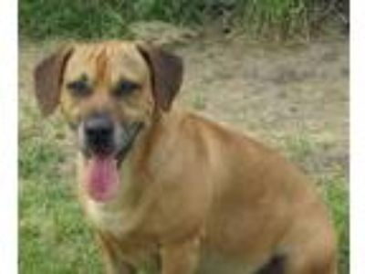 Adopt Duncan a Tan/Yellow/Fawn Dachshund / Basset Hound / Mixed dog in West