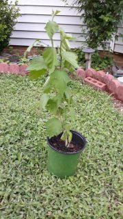 "Althea ""Rose of Sharon"" plant"