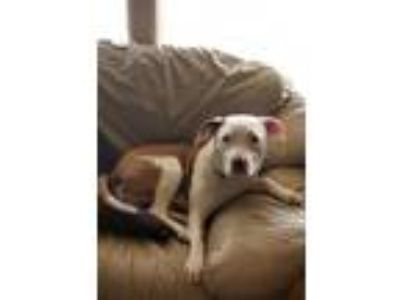 Adopt Shayla a Pit Bull Terrier