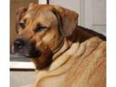 Adopt Merry a Boxer, Shepherd