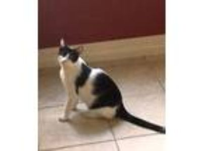 Adopt Ezra a Tuxedo, Domestic Short Hair