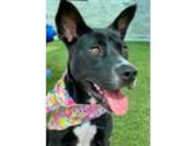 Adopt Sugar a Black Labrador Retriever / American Pit Bull Terrier / Mixed dog