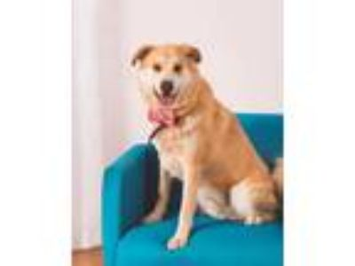 Adopt Toby a Tan/Yellow/Fawn Husky / Chow Chow / Mixed dog in Jasper