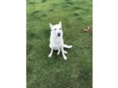 Adopt Elsa a White - with Brown or Chocolate German Shepherd Dog / Husky dog in