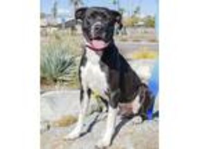 Adopt Canyon a Black American Staffordshire Terrier / Mixed dog in Palm Springs