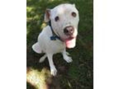 Adopt Lil Pearl a White - with Black Staffordshire Bull Terrier dog in Somers