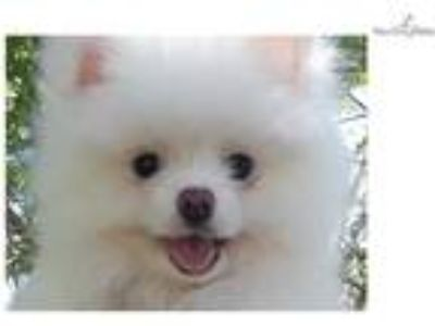 Tiny purebred ice white pomeranian puppy female