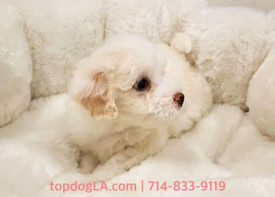 Maltipoo Puppy - Male - Orange ($1,250)