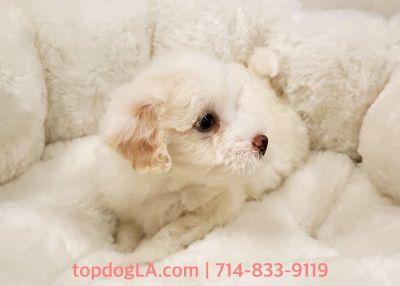 Maltipoo Puppy - Male - Orange ($1,250)