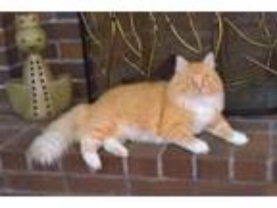 Adopt Handsome Pete a Domestic Long Hair, Maine Coon