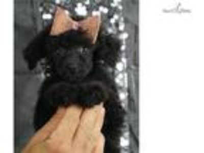 Molly Adorable Toy Poodle Puppy Ready to go!