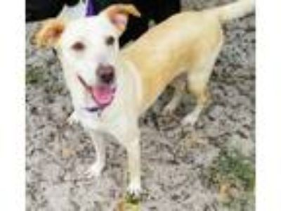 Adopt Evie a Labrador Retriever, Mixed Breed