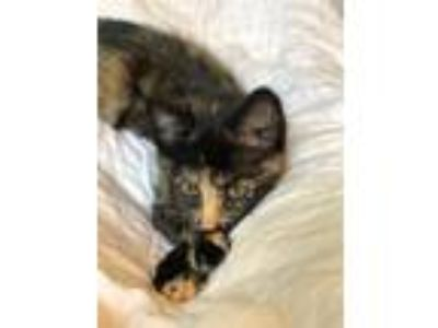 Adopt Kaylee a Domestic Shorthair / Mixed cat in Silverdale, WA (25870406)