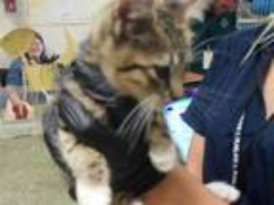Adopt BARON a Brown Tabby Domestic Shorthair / Mixed (short coat) cat in