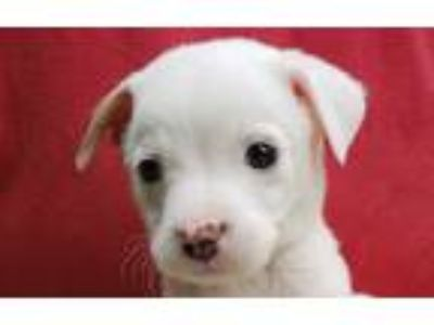 Adopt Tantrum a Brown/Chocolate - with White Terrier (Unknown Type