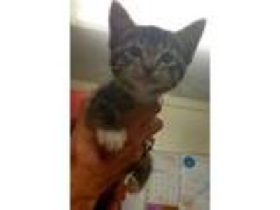 Adopt Tamale a Brown Tabby Domestic Shorthair / Domestic Shorthair / Mixed cat