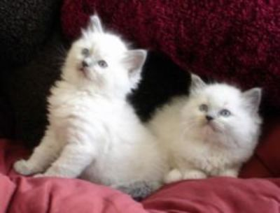 CUTE Male and female Ragdoll Kittens For Adoption