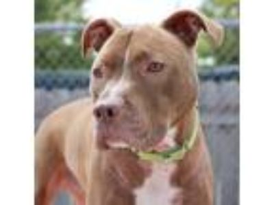 Adopt Benny a Brown/Chocolate Pit Bull Terrier / Mixed dog in Wheaton