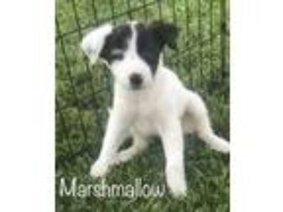 Adopt Marshmallow a White - with Black Australian Shepherd / Labrador Retriever