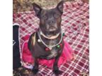 Adopt Darla a Black - with White Staffordshire Bull Terrier / Boston Terrier /