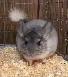 SALE!! Reduced Adoption Fees @ NWI Chinchillas! Through May 31st!!