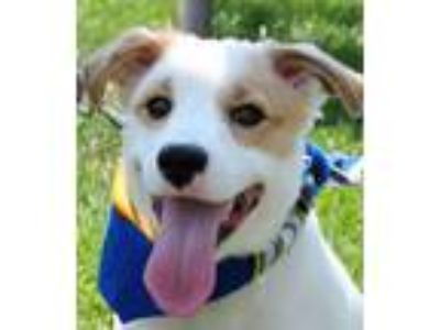 Adopt Canton--MUST APPLY TO ADOPT a Corgi, Labrador Retriever