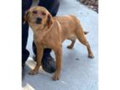 Adopt OLIVE a Red/Golden/Orange/Chestnut Labrador Retriever / Mixed dog in