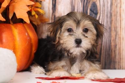 Morkie PUPPY FOR SALE ADN-104951 - Eva Lovable Female Morkie Puppy