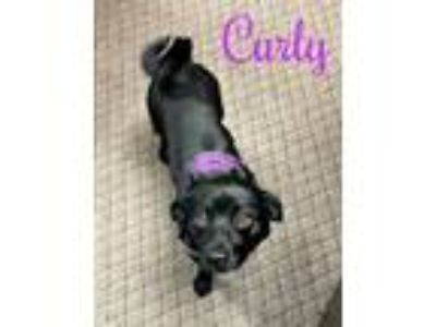 Adopt Curly a Pug