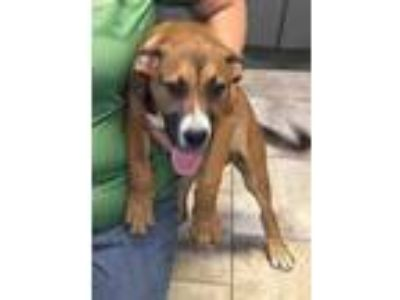 Adopt Lulu a Brown/Chocolate Mixed Breed (Large) / Mixed dog in St.