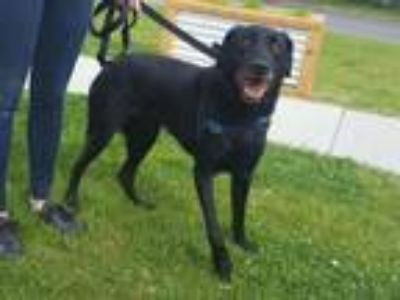 Adopt CHAZZ a Labrador Retriever